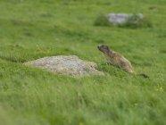 Marmotte en vert prairie alpine près Pont Estaube, France — Photo de stock