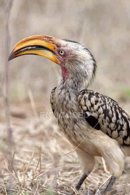 Птах Південного жовтодзьобий рогатий ворон — стокове фото