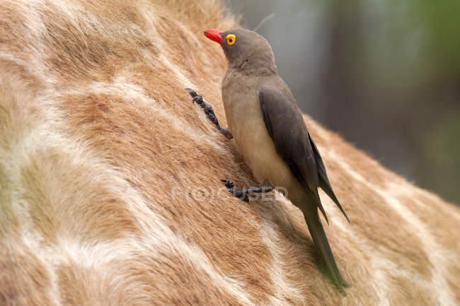 Piquebœuf à bec rouge se percher sur la girafe — Photo de stock