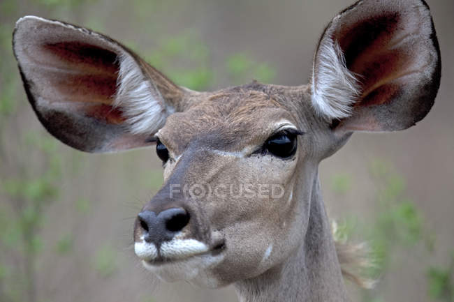 Portrait of a Kudu, South Africa — Stock Photo