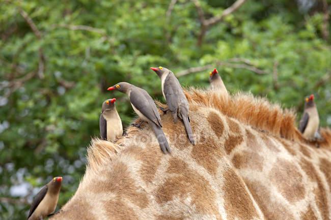 Рахунок виставляється червоний Oxpeckers сідати на Giraffe — стокове фото