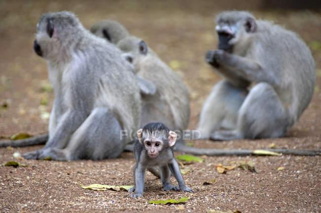 Vervet monkeys with a baby — Stock Photo