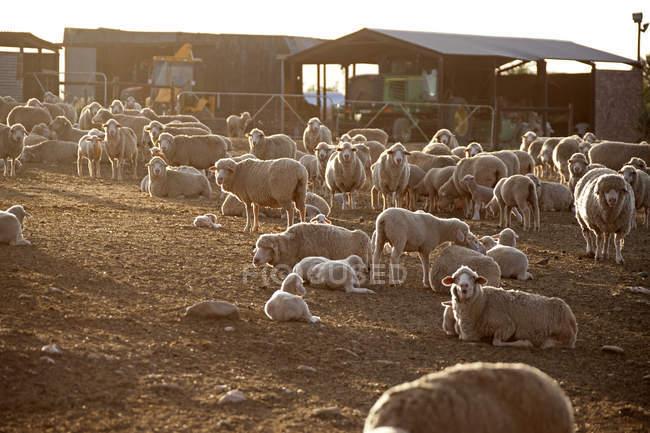 Schafherde im Tiergehege — Stockfoto