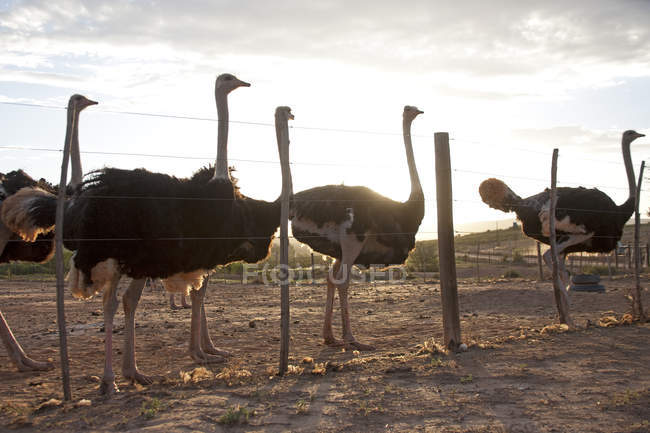 Group of ostriches behind farm fence — Stock Photo
