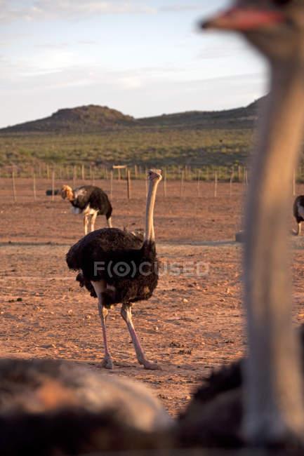 Tre struzzi, Sud Africa — Foto stock