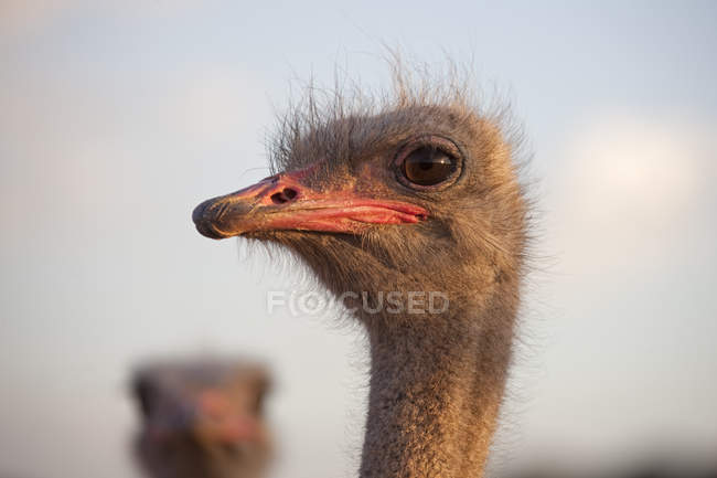 Ostrich's head, South Africa — Stock Photo