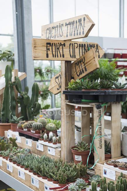 Kakteen zum Verkauf im Gartencenter — Stockfoto