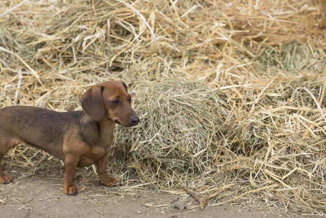 Cane di bassotto a mucchio di paglia — Foto stock