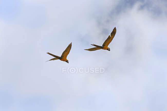 Due pappagalli Gold e Blue Macaw — Foto stock