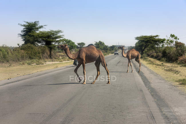 Верблюды, пересечение дорог — стоковое фото