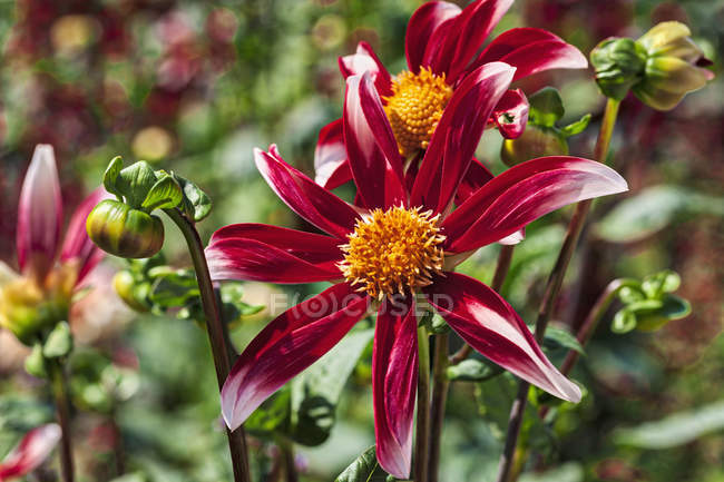 Close-up of pink star dahlia flowers — Stock Photo