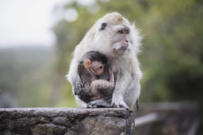 Mono llevando bebé mientras está sentado en la roca - foto de stock