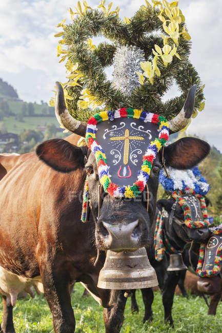 Kühe mit Glocken und Blütenstand Dekorationen auf Wiese in Österreich — Stockfoto