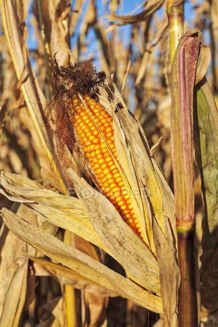 Close-up of ripe corn on field — Stock Photo