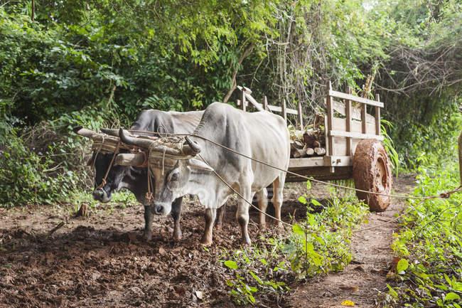Ochsenkarren auf Feld auf Land in Vinales, Kuba — Stockfoto