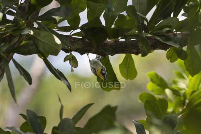 Blackburnian pássaro Warbler, empoleirar-se no ramo de árvore — Fotografia de Stock