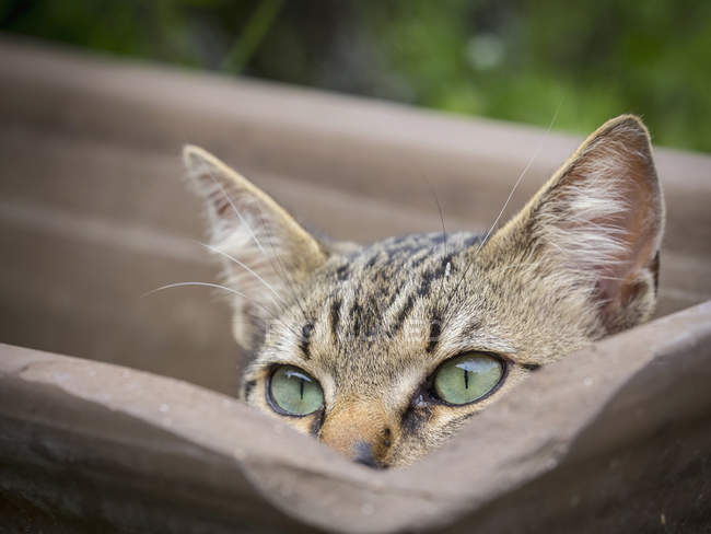 Close-up of domestic cat hiding in empty plant pot — Stock Photo