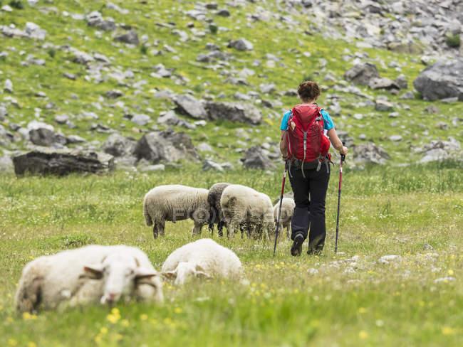 Жіночий мандрівного спадання на пасовищі овець в Ossoue долині високий Піренеїв, Франція — стокове фото