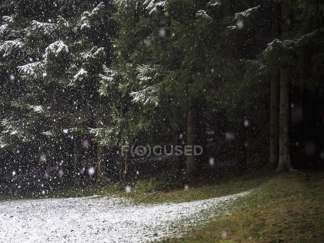 Neige qui tombe dans la forêt sempervirente, plein cadre — Photo de stock