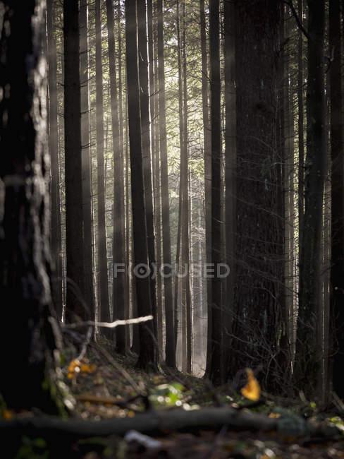 Feuilles et troncs d'arbres dans la Forêt brumeuse — Photo de stock