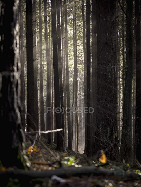 Autumnal leaves and tree trunks in foggy forest — Stock Photo