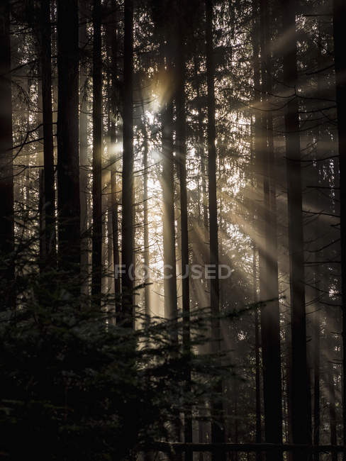 Dark silhouettes of trees in misty forest with sunbeams — Stock Photo