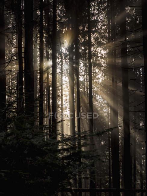 Oscuras siluetas de árboles en bosque de niebla con rayos de sol - foto de stock
