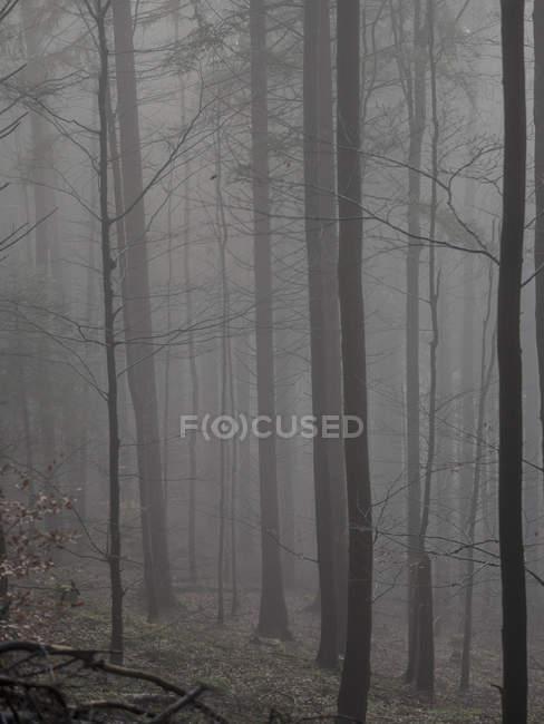 Silhouettes sombres des arbres de la Forêt brumeuse — Photo de stock