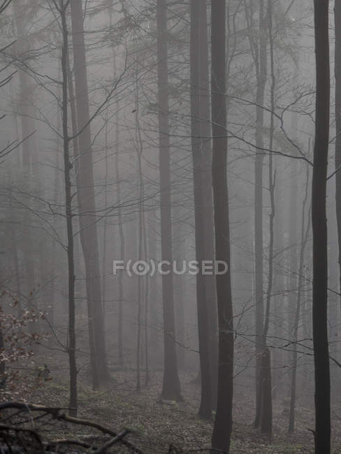 Dark silhouettes of trees in misty forest — Stock Photo