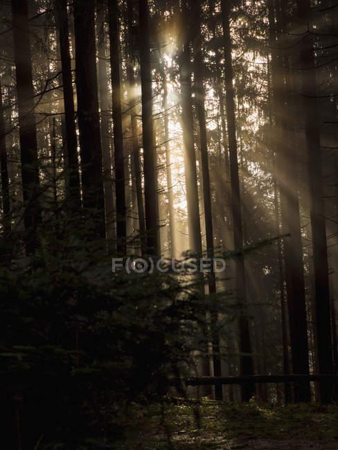 Silhouettes sombres des arbres de forêt brumeuse avec des rayons de soleil — Photo de stock