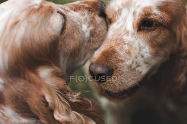 Очаровательные коричневые собаки — стоковое фото