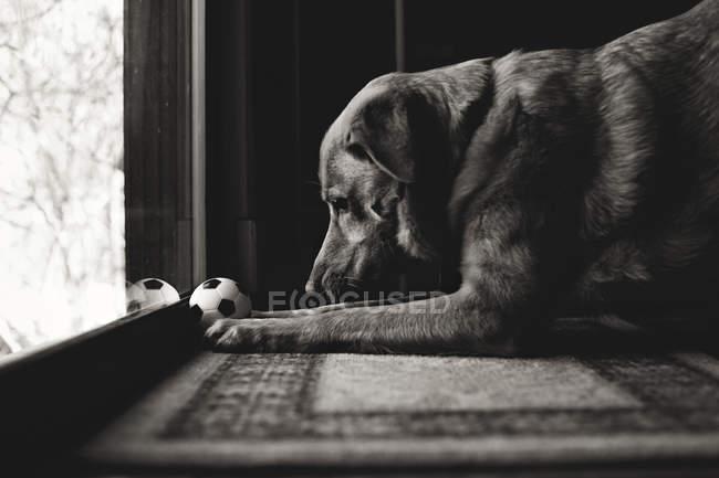 Mignon chien jouant avec ballon — Photo de stock