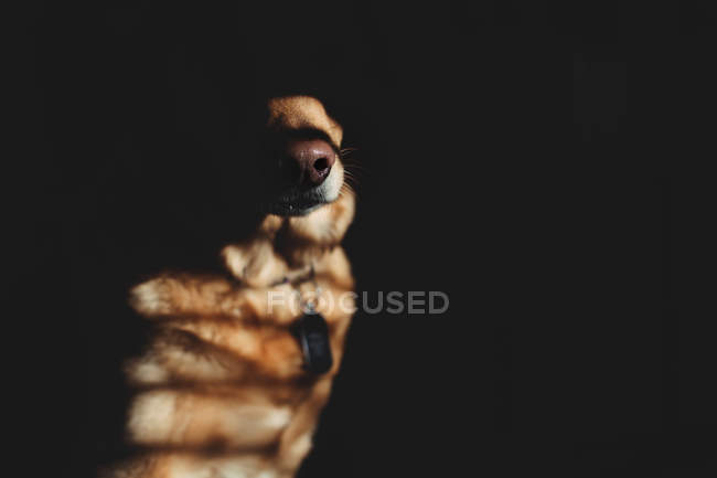 Nez de gros chien brun — Photo de stock