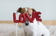 Jack Russell Terrier auf Bett mit roten Luftballons in Form von Wort Liebe, selektiven Fokus — Stockfoto