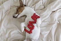Jack Russell Terrier on bed with red balloons in form of word love, selective focus — Stock Photo