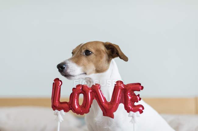 Jack Russell Terrier sul letto con palloncini rossi in forma di amore parola, messa a fuoco selettiva — Foto stock