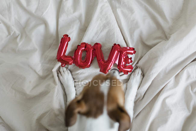 Jack Russell Terrier on bed with red balloons in form of word love, selective focus — Photo de stock