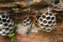 Paper Wasp on nest — Stock Photo