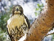 Red-tailed Hawk in City Park — Stock Photo