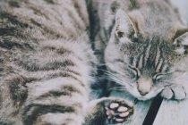 Graue Tabbykatze schlafen — Stockfoto