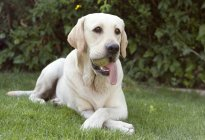 Labrador dog with ball in mouth — Stock Photo