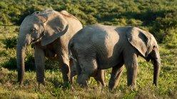 Elefanti selvatici nella savana — Foto stock