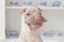 Shar Pei dog with treat — Stock Photo
