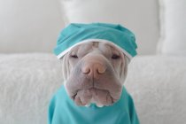 Shar pei dog in medical scrubs — Stock Photo