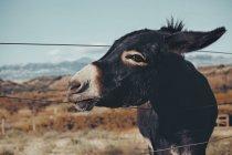 Esel steht auf Feld — Stockfoto