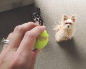 Femme avec balle jouant avec des chiens — Photo de stock