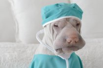 Шар-пей собака, одетый как хирург — стоковое фото