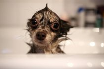 Wet funny Chihuahua dog in a bath — Stock Photo