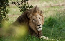 Löwe liegt unter Baum — Stockfoto