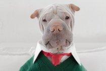 Shar Pei dog dressed in shirt — Stock Photo